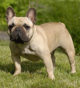 Chovatelská stanice Francouzský buldoček - French bulldog kennel ...